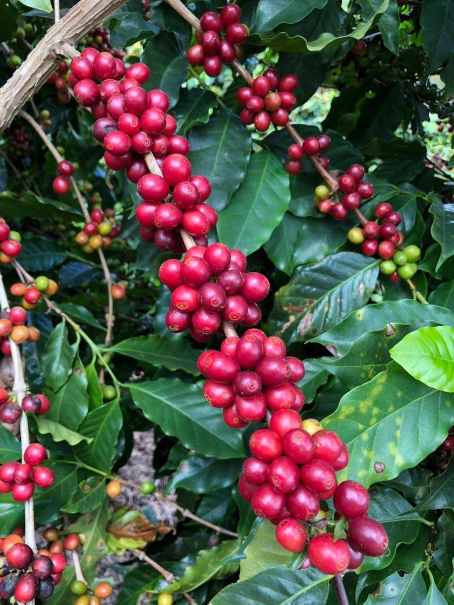 Brazilian Coffee By Regions