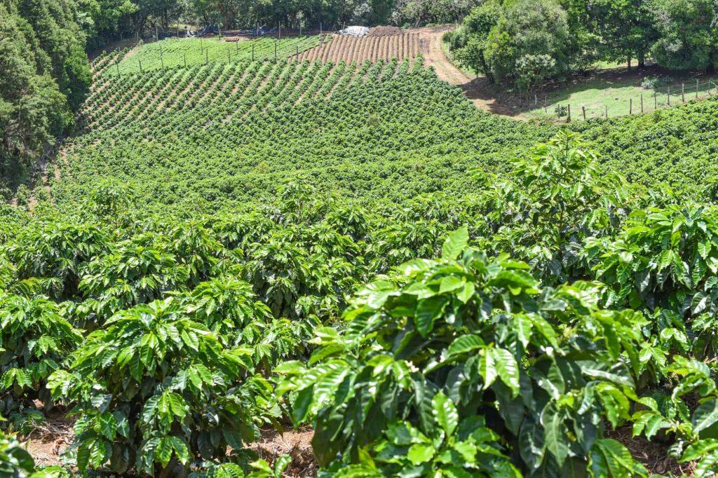 Costa Rican Coffee - Naranjo Coffee